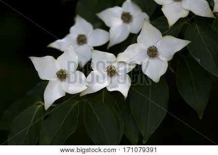 Dogwood flowers bloom on a branch in springtime.