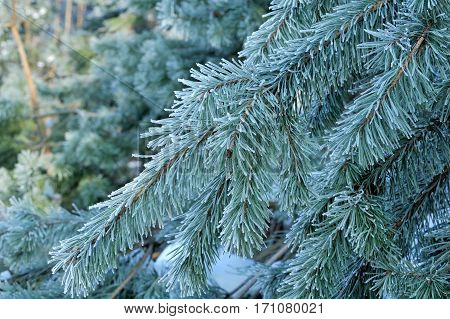 Winter Pine Branch. Snowflakes On A Branch Close-up