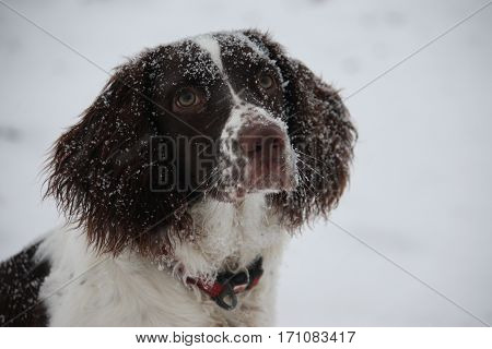 Liver And White Working Type English Springer Spaniel Pet Gundog