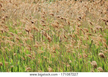 Reed (scirpus Gen.) Spinney