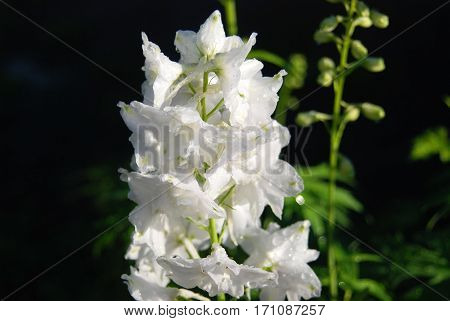 Beautiful white delphinium flower in rural flowerbed