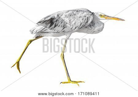Grey heron walking isolated on white background