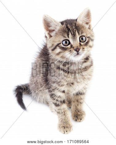 Grey kitten isolated on white background. Striped not purebred kitten.