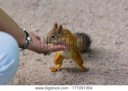 cute red squirrel eating peanuts from hand
