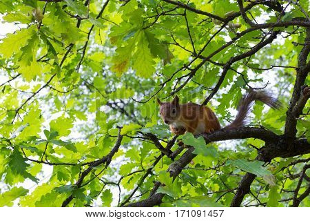squirrel sitting on the tree branch. summer