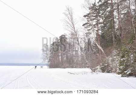 Winter landscape in pine tree forest Karelian isthmus Russia.