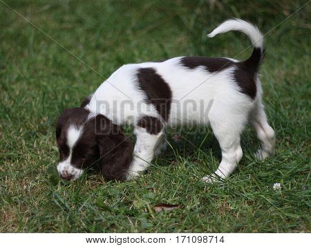 Liver And White Working Type English Springer Spaniel Pet Gundog Puppy