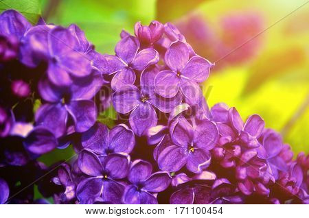 Blooming spring lilac flowers - spring floral background. Selective focus at the central spring lilac flowers, soft focus processing. Spring background with spring lilac flowers. Spring nature