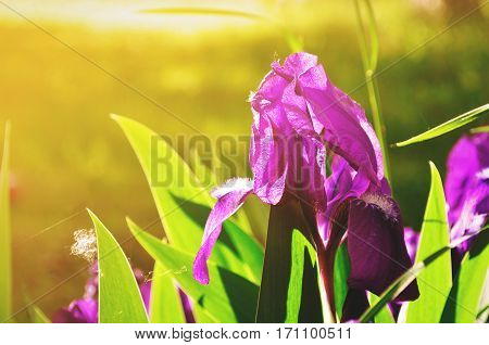 Spring flower background - purple early spring iris flower under sunlight. Focus at the flower petal. Flowers under spring sunlight. Closeup of spring iris flowers. Nature view of spring flowers.