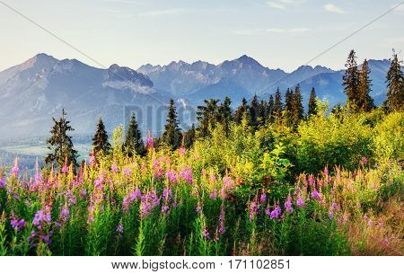 Wild flowers at sunset in the mountains. Poland. Zakopane.