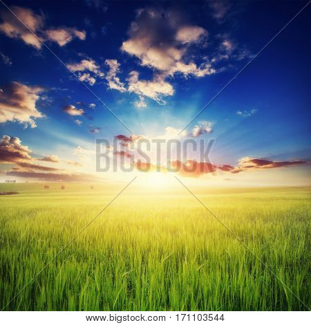 Colorful sunset over wheat field. Beauty world Europe