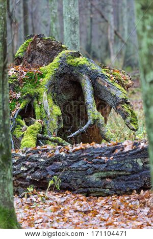 Wind broken old Pine Tree stump with visible roots in fall and broken birch tree in foreground, Bialowieza Forest, Poland, Europe