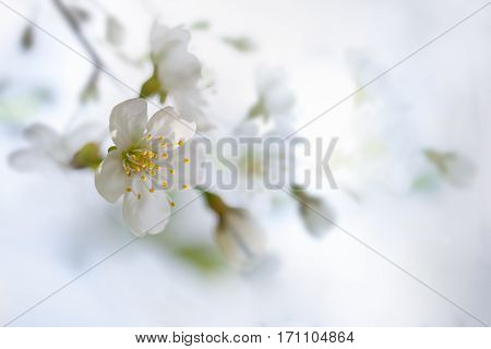 Fresh Cherry blossoms on a white background