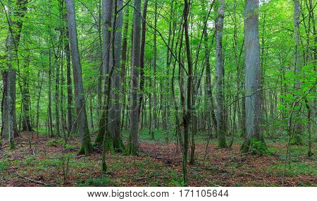 Natural deciduous stand with some old lyme trees and juveile hornbeams around, Bialowieza Forest, Poland, Europe