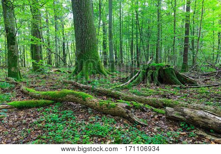 Old oak moss wrapped stump with old oak tree in background and parts of broken ash tree branches in foreground, Bialowieza Forest, Poland, Europe