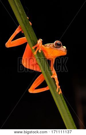 Leaf or tree frog, Dendropsophus leucophyllatus. Treefrog with vibrant red color from the Amazon rain forest in Brazil, Peru, Ecuador and Bolivia.