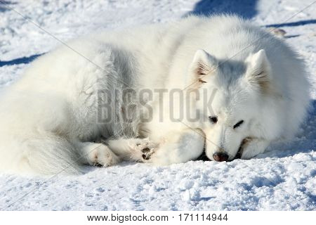 Beautiful white Samoyed lying in the snow