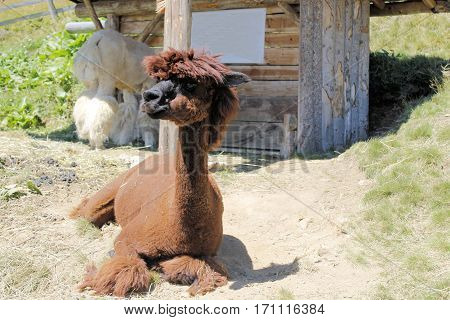 The llama (Lama glama) is a domesticated south american camelid.