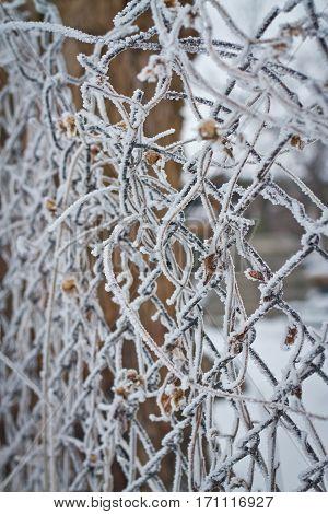 frozen berries. dried berries on the branch.winter background.frozen bush