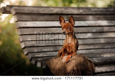Dog Toy Terrier in outside lying on the bench