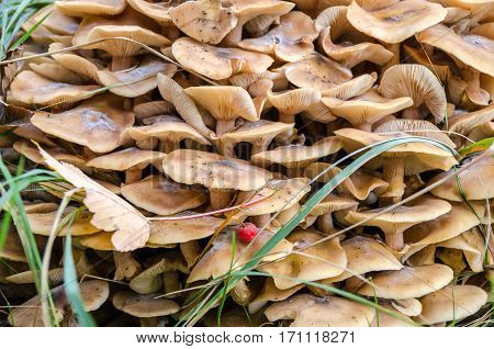 Honey fungus or Armillaria parasitic fungi growing in my garden in Germany in the fall. It grows on wood typically in small dense clumps or tufts.This specie is edible thoroughly cooked and mildly poisonous raw.