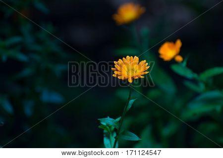 Orange colored flowers of calendula in garden