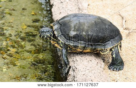 Small aquarium turtle preparing to jump in water. Turtle with dark green shell and yellow stripes.