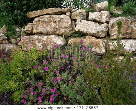 Shrub border beneath a dry stone wall in South of France