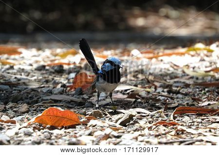 Superb Blue Fairy Wren on ground in shadow and light