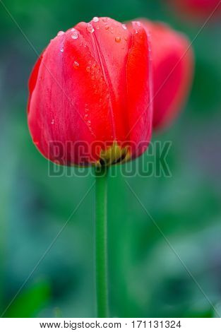 Beautiful red Tulips Flowers with Waterdrops  in the garden. Holiday border on natural green background