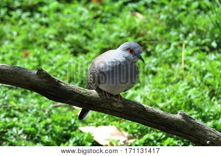 Australian Diamond Dove pigeon small bird perched on a branch