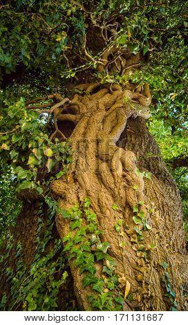 Old big linden tree closeup at summer
