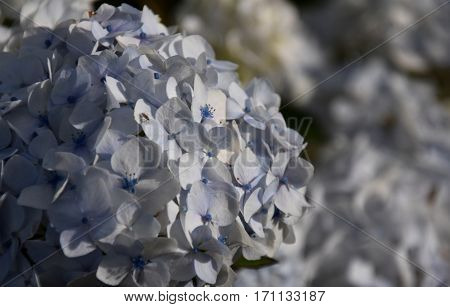 White hydrangea flowers. Hydrangea (common names hydrangea or hortensia) is a genus of 70-75 species of flowering plants. Beautiful white flowerhead Hydrangea macrophylla. Hydrangeaceae.