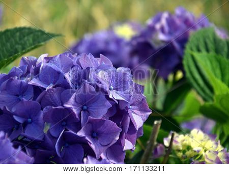 Blue hydrangea flowers. Hydrangea (common names hydrangea or hortensia) is a genus of 70-75 species of flowering plants. Beautiful blue flowerhead Hydrangea macrophylla. Hydrangeaceae.