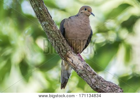 A Mourning Dove perched on a branch