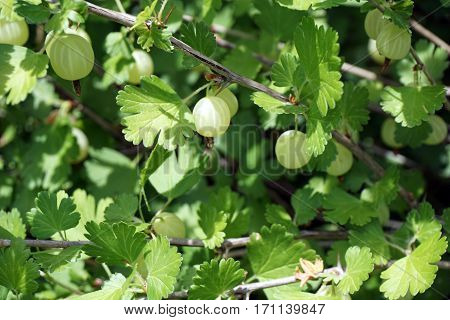 Green gooseberries (Ribes uva-crispa) grow on a gooseberry bush in a garden in Joliet, Illinois during June.