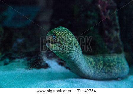 California Moray Eel Gymnothorax Mordax