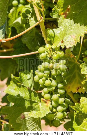 bunch of unripe Sauvignon Blanc grapes on vine