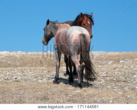 Wild Horse Mustang Bay Band Stallion With His Strawberry Red Roan Mare On Sykes Ridge In The Pryor M
