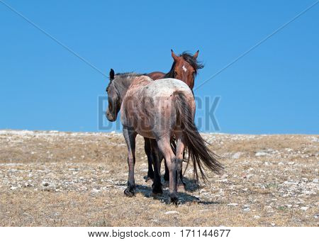 Wild Horse Mustang Bay Band Stallion with his Strawberry Red Roan Mare on Sykes Ridge in the Pryor Mountains Wild Horse Range on the Wyoming Montana state line U S A