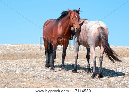Wild Horse Mustang Bay Band Stallion with his Strawberry Red Roan Mare on Sykes Ridge in the Pryor Mountains Wild Horse Range on the Wyoming Montana state line USA