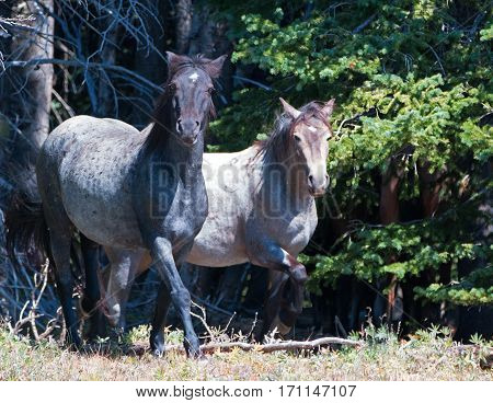 Blue Roan And Red Roan Mares In The Pryor Mountains Wild Horse Range On The Wyoming Montana State Li