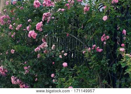 Climbing Roses Trellis, Beautiful Fence Front Of House