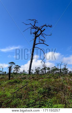 Dead Pine From Wildfire Against Blue Sky.