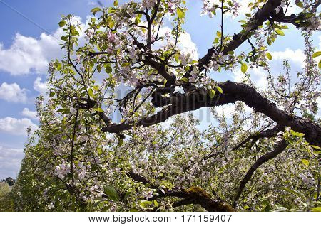 blossoming in spring old apple tree branch in orchard