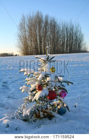one beautiful snowy Christmas new year fir tree on farmland field in winter