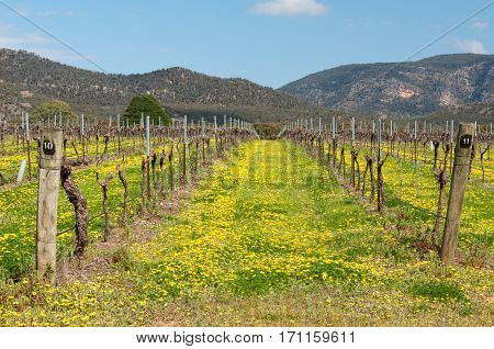 Vineyard full of wildflowers at the foot of the Grampians Ranges in Victoria, Australia