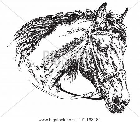 Horse head with bridle in black and white vector hand drawing illustration