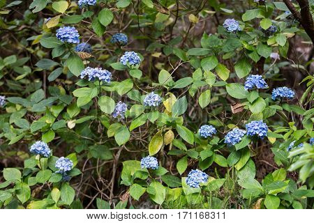 Hortensia Flowers in rainforest on Madeira Island. Portugal