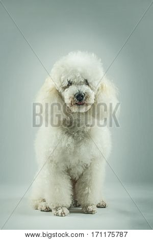 Beautiful white poodle posing in the studio